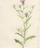knapweed scan image web
